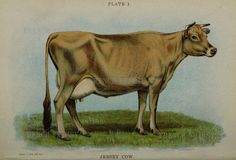 Large Antique Book Plate of a Jersey Cow 11 x 7.5 by FrenchWhimsy