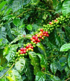 Superb Single Origin Coffees. East Timor - Assui Craik and Mexico - Finca Muxbal