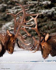 Bull elk head to head
