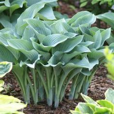 Hosta 'Krossa Regal' and other slug-resistant-hostas