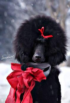 Looks like my Emme! #Poodle