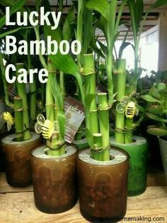 Bamboo Care These tips from our readers will help ensure your Lucky Bamboo gets the best possible care.These tips from our readers will help ensure your Lucky Bamboo gets the best possible care. Bio Garden, Indoor Garden, Garden Plants, Lucky Bamboo Care, Lucky Bamboo Plants, Bamboo House Plant, Bamboo Plant Care, Outdoor Plants, Outdoor Gardens