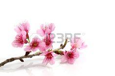 Flor de sakura de cerezos en flor Rosa  Foto de archivo