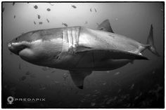 """""""Possibly one of the largest white sharks in the world. This 6m giant appeared out of the blue down at 23 metres...In the words of Andrew Fox who has dived with white sharks almost every day for 35+ years, """"OH MY GOD""""...followed by me saying """"She's not god, she's bigger!""""""""  Pic and words by Sam Cahir of Predapix"""