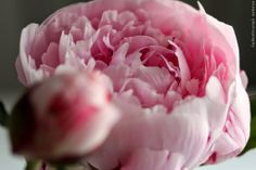 Pretty in Pink - elsass: peonies