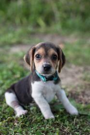 Lisa - Beagle