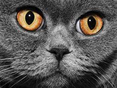 Ganz nah: Britisch Kurzhaar Katze mit orangen Augen — Bild: Shutterstock / Korionov    www.einfachtierisch.de