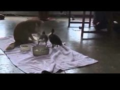 Funny Cat vs Ducks - http://dailyfunnypets.com/videos/cats/funny-cat-vs-ducks/ - funny cat videos, funny cats, funny cat, funny video, funny, funny animals, ninja cat, funny cat video, cat, cats funny, cats, talking cat, talking cats, cat. Funny cat videos Cat Adopts Baby.... - (animal), accident, animals, cat, cats, caturday, comedy, crazy, cute, epic, fail, funny, humor, humour, kitten, kittens, kitty, laugh, pets, pool, water
