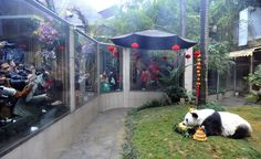 FUZHOU, CHINA - JANUARY 18:  The world's oldest giant panda 'Basi' in captivity eats specially-made cake during its 37th birthday at Strait Panda World on January 18, 2017 in Fuzhou, Fujian Province of China. Male giant panda 'Basi' welcomes it 37th birthday in Fuzhou and becomes the world's oldest giant panda in captivity.  (Photo by VCG/VCG via Getty Images) via @AOL_Lifestyle Read more…