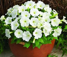 Hanging Petunia Mixed flores Color Waves Beautiful Flowers For Garden Plant Bonsai Flower plantas, Bonsai Seeds, Bonsai Plants, Garden Plants, Potted Plants, Petunia Plant, Petunia Flower, Container Gardening Vegetables, Succulents In Containers, Container Flowers