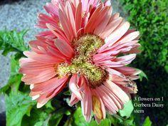 3 flowers on 1 Gerbera Daisy stem