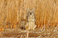 Discover the amazing coyote, an intelligent and adaptable member of the dog family. Coyote facts for kids & adults, with pictures, information and video. Bear Hunting, Coyote Hunting, Pheasant Hunting, Turkey Hunting, Archery Hunting, Coyotes, Coyote Facts, Animal Facts For Kids, Dame Nature