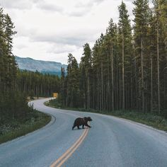 Banff National Park Oh Canada (yes it's a grizzly bear crossing the highway). #explorecanada