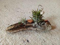 Tillandsia mit Treibholz Moth, Driftwood, Plants
