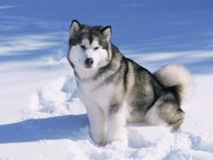 Alaskan Malamute dog, in the snow, USA - Dog Breeds for Apartments Alaskan Husky, Alaskan Malamute For Sale, Beautiful Dogs, Animals Beautiful, Malamute Husky, Giant Malamute, Polo Norte, Snow Dogs, Best Dogs