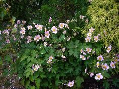 anemone tomentosa 'robustissima' I have a lot of this in Vermont and love it!