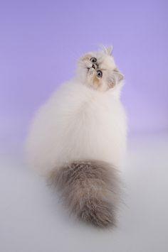 Himalayan Cat | Flickr - Photo Sharing!