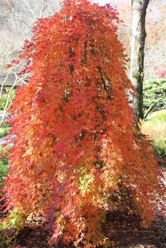 This is gorgeous! Weeping Japanese Maple 'Ryusen'. Acer palmatum. 6-8' tall. Red fall color, green in summer.