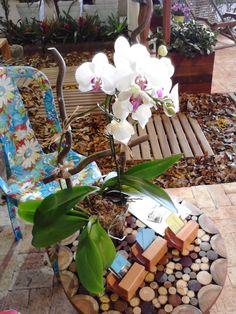 Andando com Formigas: Orquídea Falaenopsis