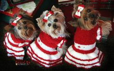 Yorkies ready for Christmas!