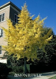 Monrovia's Autumn Gold Maidenhair Tree details and information. Learn more about Monrovia plants and best practices for best possible plant performance.