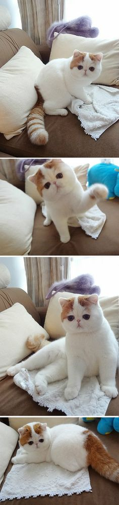 The now famous Exotic Shorthair named Snoopy makes an encore visit. Always the professional, this photo shoot went Purr-fectly! I Love Cats, Crazy Cats, Cute Cats, Animal Gato, My Animal, Baby Animals, Funny Animals, Cute Animals, Beautiful Cats