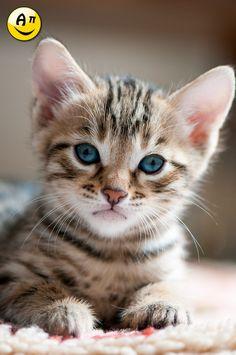kitty bengal