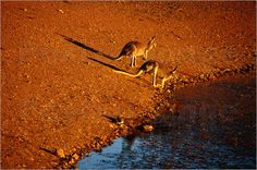 Während Deutschland mit dem Frost zu kämpfen hat, Sonnen sich in Australien die Kängurus in der Sonne. Ein Fotoposter von Down Under erinnert an die Schönheit des Kontinents. Und natürlich auch an das warme Wetter.