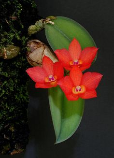 Nodding Sophronitis, Cattleya cernua (Orchidaceae), Syn. Sophronitis cernua, is a miniature orchid native to Brazil with some inland populations reaching west to Paraguay and Boliva. This orchid grows on trees and sometimes rocks in coastal areas as well as high in the canopy of inland rainforest trees.