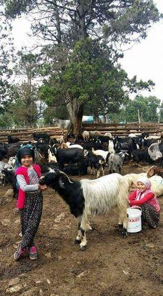 Goats, Turkey, Animals, Animaux, Animal, Animales, Goat, Animais