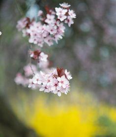 満開を迎えたアーモンドの花