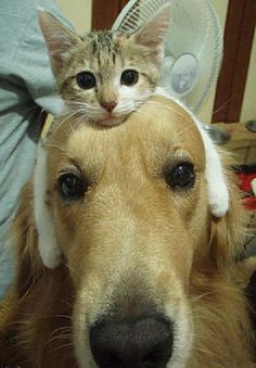I wish my cat and dog could get this close to each other without trying to kill each other!...the kittens paws look like ear muffs on the dog