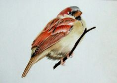 Male House Sparrow in coloured pencil
