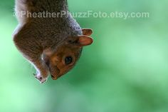Eastern Gray Squirrel Wildlife Photography Fine Art Nature