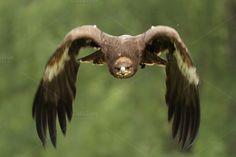 Photo about Golden Eagle (Aquila chrysaetos) in flight. Image of chrysaetos, prey, movement - 12109152 Eagle Eye, Bald Eagle, Forest Animals, Farm Animals, Eagles, Eagle In Flight, Golden Eagle, Small Birds, Birds Of Prey