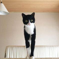 梅吉、午後2時。ねぇ、インスタばっかやってないで僕の相手してよー。 Umekichi , 14:00 . Hey , non Instagrammo , si prega di mio partner 。 Umekichi , 2 pm . Hey , not to Instagram , please my partner 。 ・ 布団干しの上から遊んでアピールする梅吉くん。 ・ #猫 #cat #gatto #chat #catoftheday #catstagram #catlover #catlife #cats_of_instagram #にゃんこ #にゃんすたぐらむ #和猫 #日本猫 #japanesecat #白黒猫 #白黒 #blackandwhite #blackandwhitecat #はちわれ #はちわれ猫 #靴下猫 #タキシードキャット #猫との暮らし #猫のいる生活 #猫と暮らす #愛猫 #愛猫家 #ジャパニーズボブテイル #猫ライフ #ふわもこ部