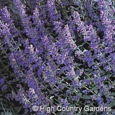 "Walker's Low Catmint; Perennial 24""t x 18""w suppose to be pretty all year. zones 4-9"