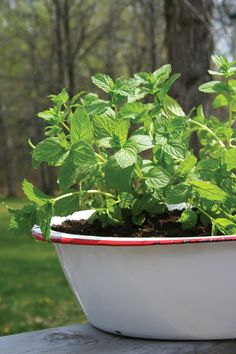 We love mint – for its radiant color, its invigorating smell and for the cooling drinks it inspires. And mint is one of the easiest plants to grow, inside or out. It's tough and it spreads like a weed! To keep it under control, plant it in a container. There's no need to fertilize, just... Read more