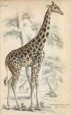 The Naturalist's Library. Bd. 21 Mammalia. Deer, Antelopes, Camels. Edinburgh, Lizars um 1840. on Flickr.