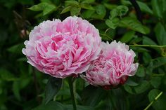 How to Grow and Care for the Peony Flower in Containers.