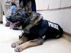 """Adieu Diesel, Aidaa scrive al governo: """"Giubbotti protettivi anche per i cani poliziotto"""" :http://www.qualazampa.news/2015/11/28/adieu-diesel-aidaa-scrive-al-governo-giubbotti-protettivi-anche-per-i-cani-poliziotto/"""