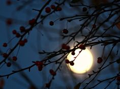 An almost full moon behind a berry tree.........