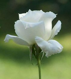 Pour CANTALINE... - Page 10 1221ce624175105629e12d59ea8acfa1--white-rose-pictures-rose-flower-pictures