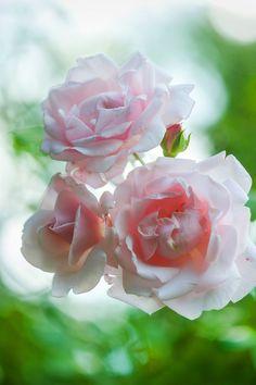 Sarah Van Fleet roses at Brandywine Cottage. Photo by Rob Cardillo.