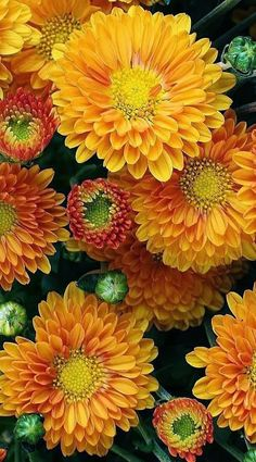 flowers garden love:  Autumn Mums! Beautiful