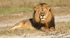 In this undated photo provided by the Wildlife Conservation Research Unit, Cecil the lion rests in Hwange National Park, in Hwange, Zimbabwe. Two Zimbabweans arrested for illegally hunting a lion appeared in court Wednesday, July 29, 2015. The head of Zimbabwe's safari association said the killing was unethical and that it couldn't even be classified as a hunt, since the lion killed by an American dentist was lured into the kill zone. (Andy Loveridge/Wildlife Conservation Research Unit via…