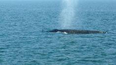 De walvis ziet er gezond uit en zou op eigen kracht weer terug naar zee kunnen zwemmen.