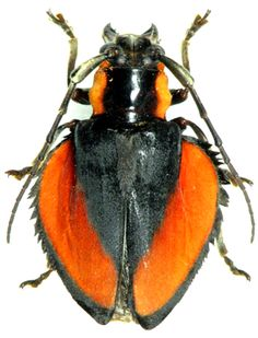 Ites Colasi With Images Longhorn Beetle Insects Arthropods