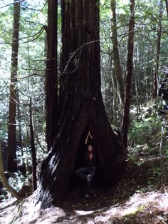 Tree Position in a Redwood Tree on the Avenue of the Giants 3*11*2014