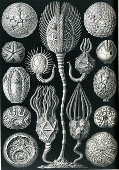 Google Image Result for http://www.weetstraw.com/assets/images/collections/103/ernst-haeckel-7.jpg